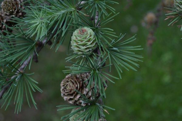 Coniferus Regeneration