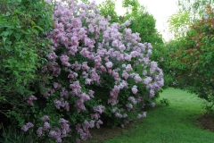 06012014-4_lilac