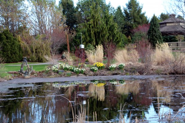 Daffodils reflected in the pond