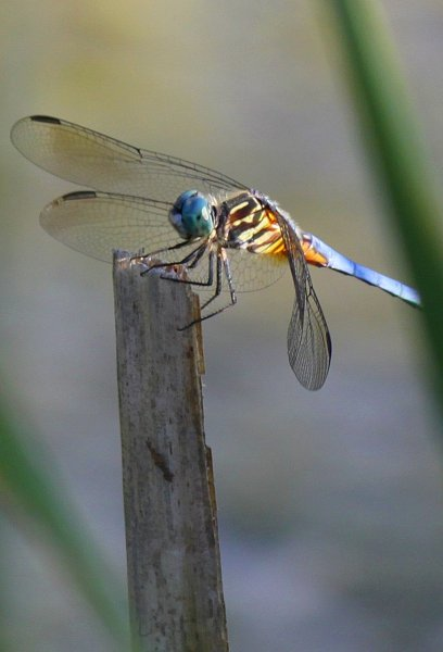 Dragonfly at the pond