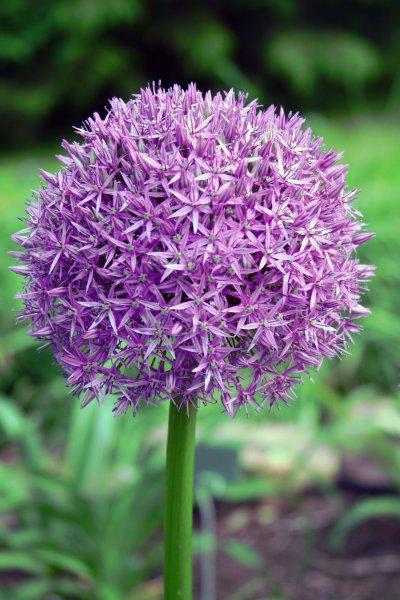 Giant Allium