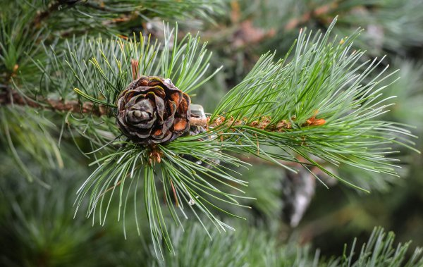 little pine cone
