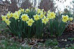 041915-2_Daffodil_8192